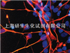 人胎⌒肝细胞系